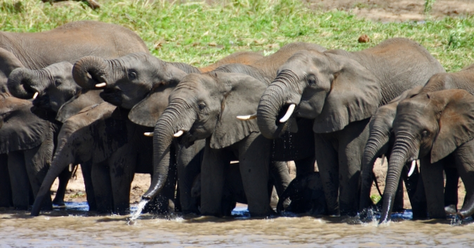 Elephants drinking at waterhole in Venetia Limpopo Nature Reserve, South Africa