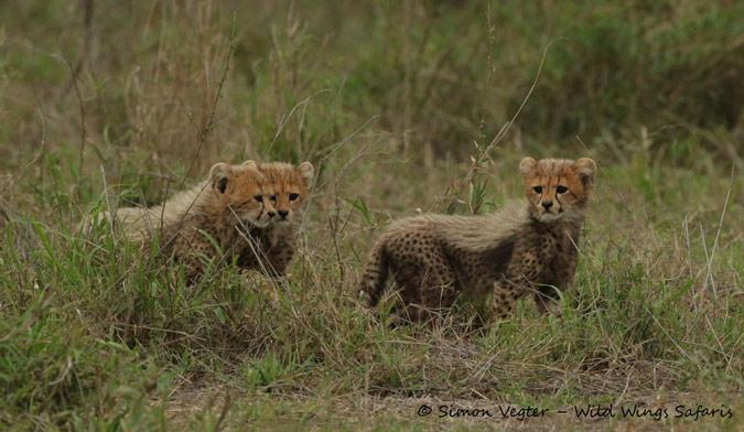 Three cheetah cubs in the wild