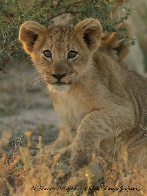 Lion cub in the wild