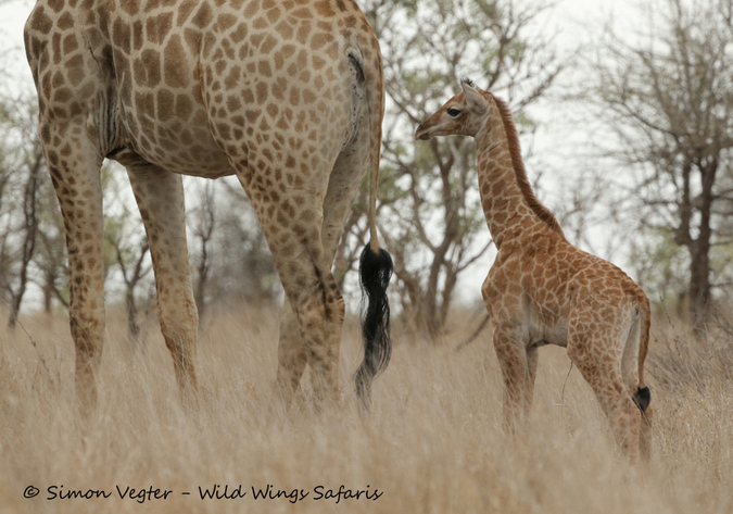 Baby giraffe with mother in the wild