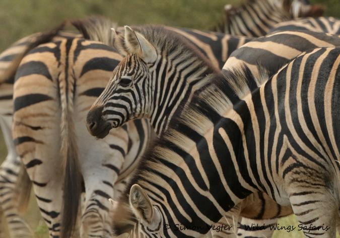 Baby zebra with herd