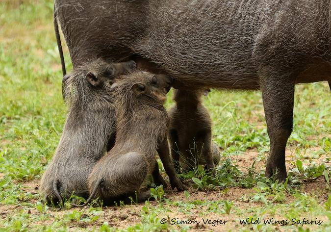 Three baby warthogs suckling