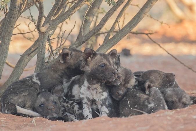 African wild dog puppies, Tswalu Kalahari, South Africa
