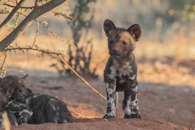 African wild dog puppy, Tswalu Kalahari, South Africa