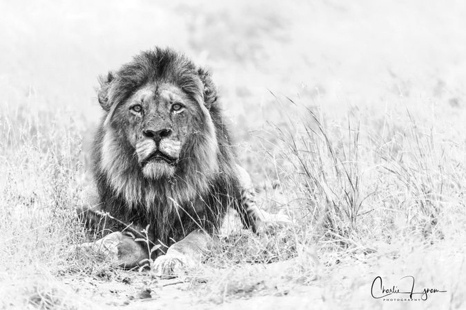 black and white African lion portrait