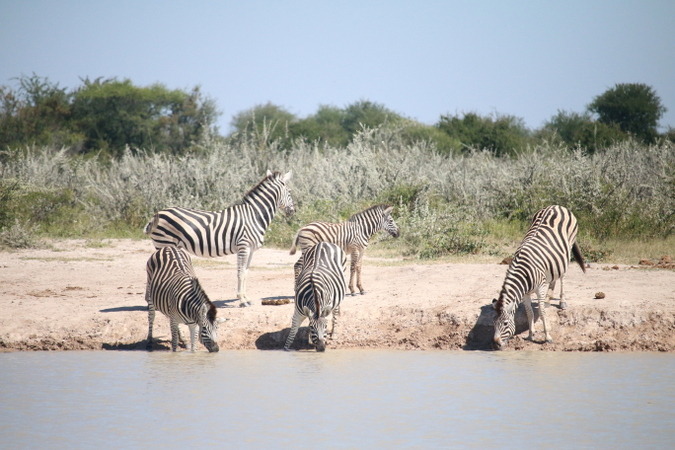 Zebras at waterhole in Botswana