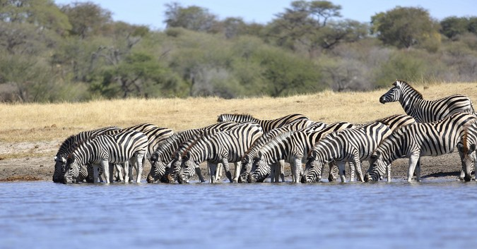 Zebras drinking from Boteti River in Botswana