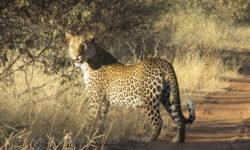 leopard © Simon Espley