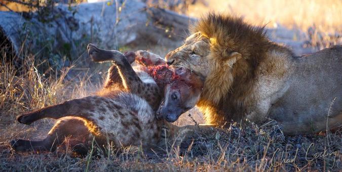 Lion killing hyena