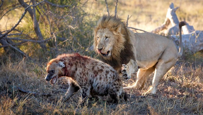 Lions and hyenas: Eternal enemies - Africa Geographic
