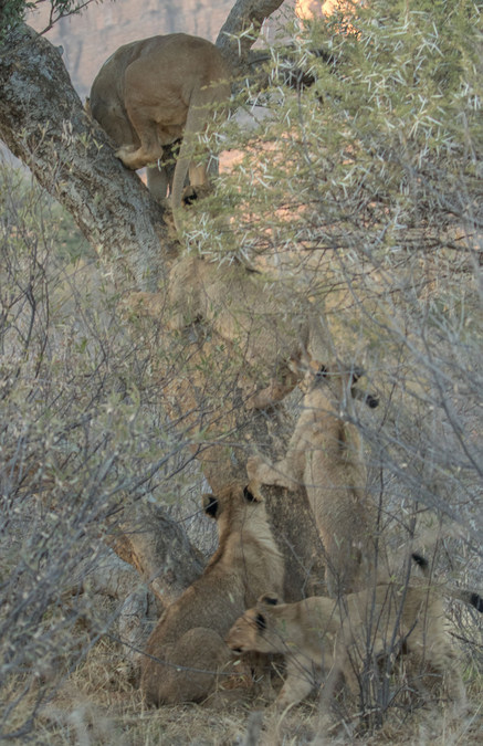 Lioness in tree with cubs
