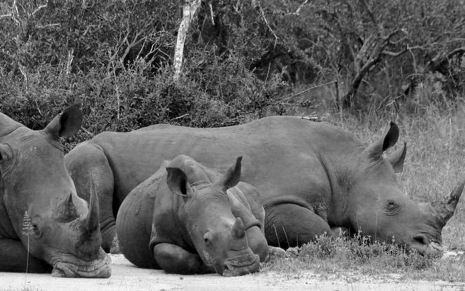 Black and white photo of three rhinos sleeping