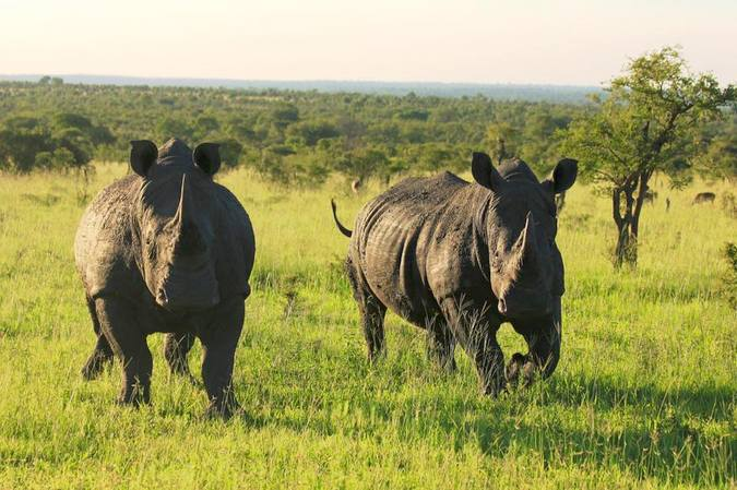 Two white rhinos in the wild