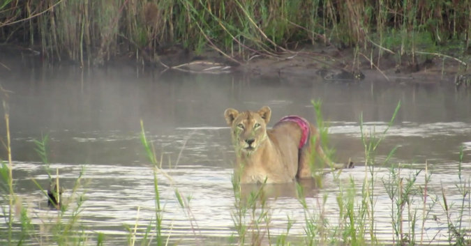 Lioness with snare wound around waist, Kruger National Park