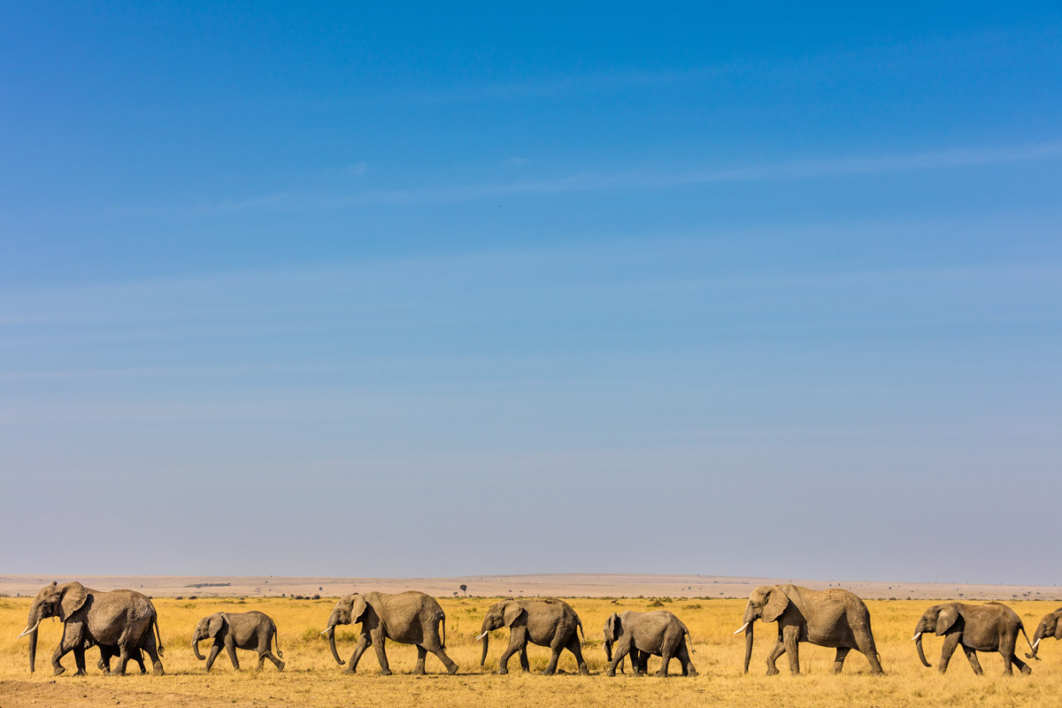 Elephants walk through the Amboseli landscape in southern Kenya