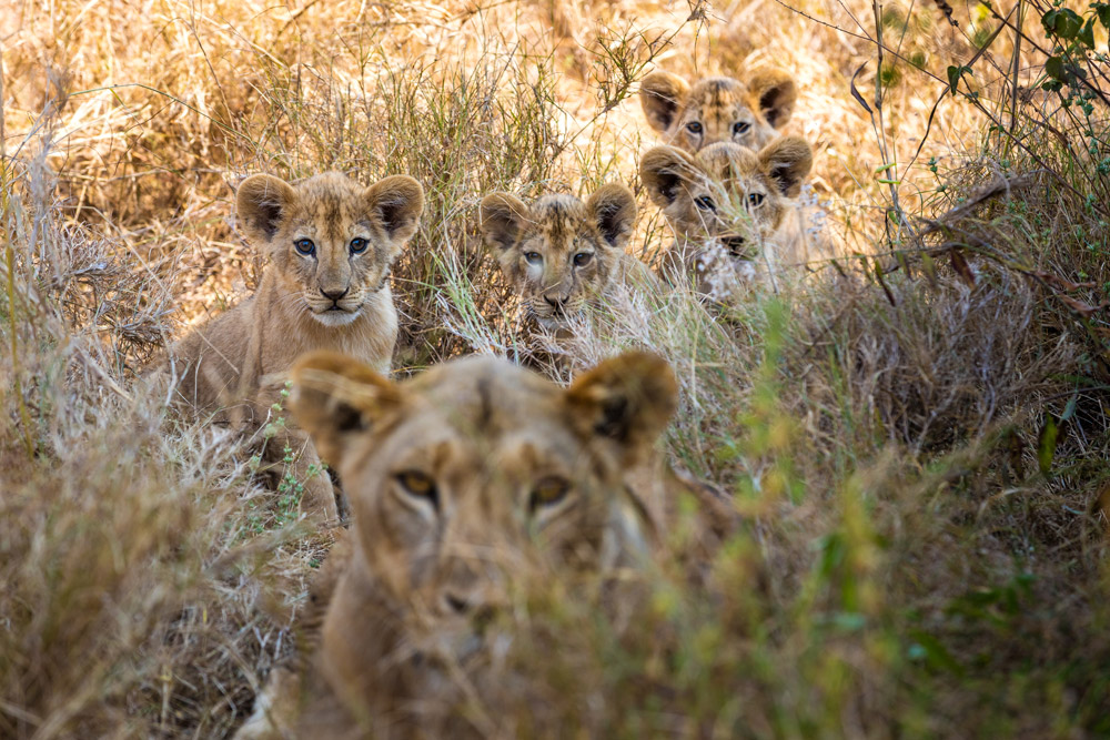 Four lion cubs with mother