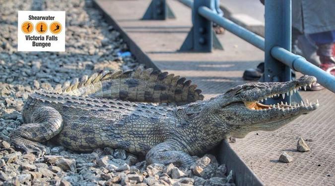 Crocodile on Victoria Falls bridge