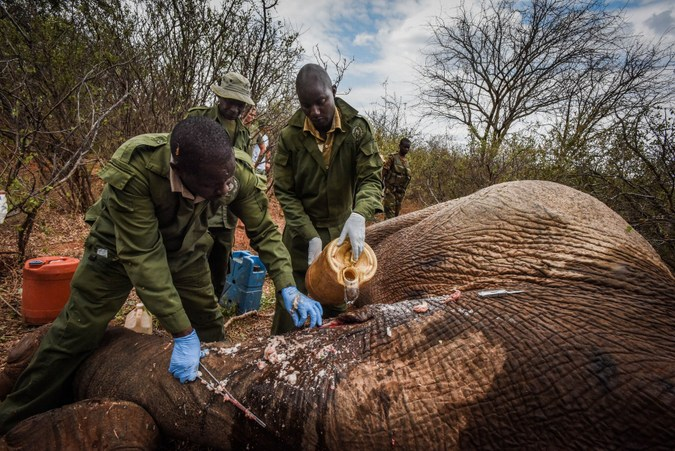 Vets clean the sedated elephant bull's wound