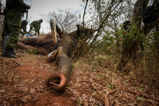 A stick props open the elephant's trunk to aid breathing