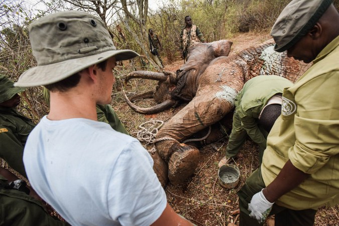 The elephant's wound is packed with green clay to aid healing and prevent infection