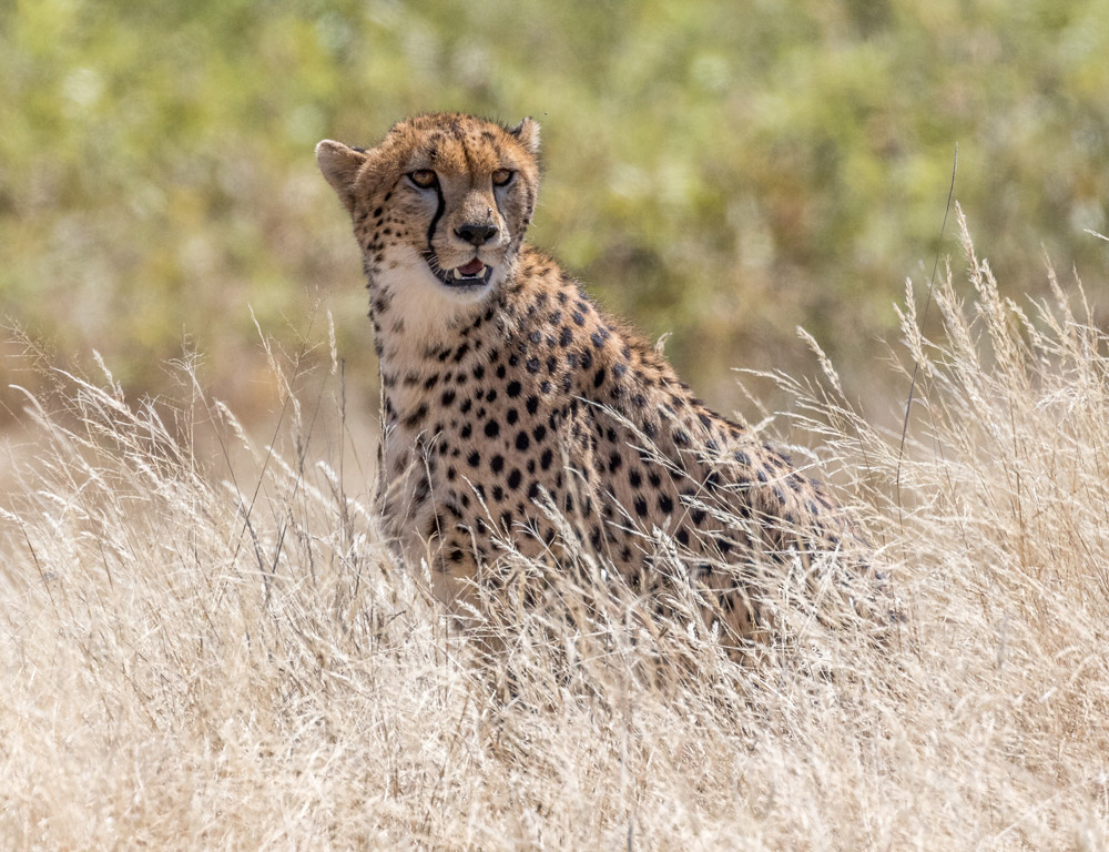 A cheetah with its eyes locked on an impala
