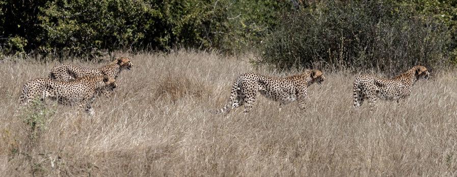 The four cheetah siblings hunting impala