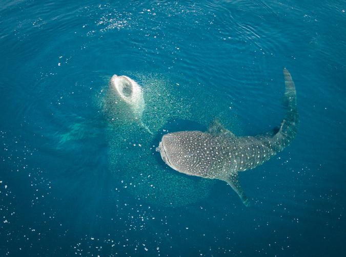 Whale sharks feeding at Mafia Island, Tanzania