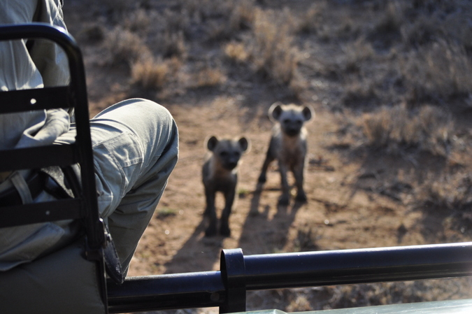 A view of hyena pups from a game drive vehicle