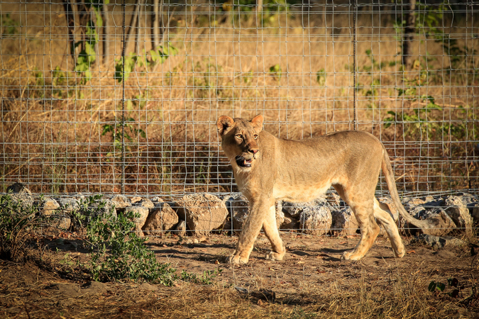 Female lion in boma in Liwonde