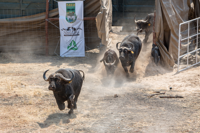 African buffalo being released into conservancy in Zambia