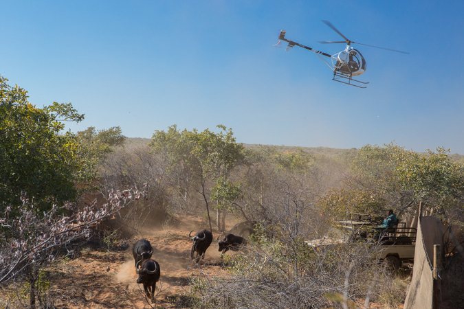 African buffalo being captured for relocation into Zambia