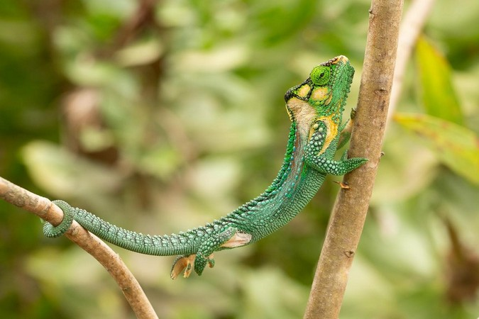 A Knysna dwarf chameleon (Bradypodion damaranum) using its prehensile tail