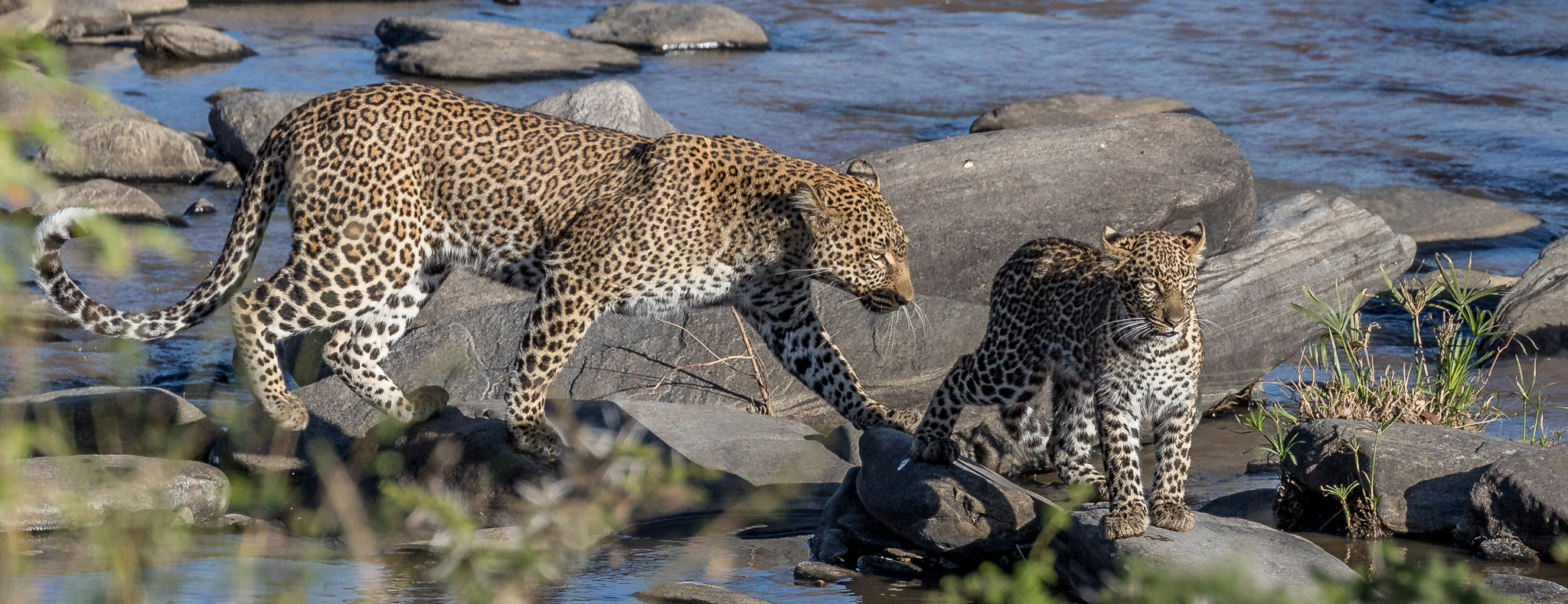 Leopard mother and cub by a river in the Maasai Mara