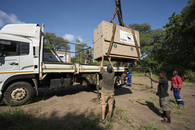 Lion loaded on to truck for relocation