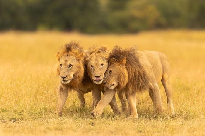 Three male lions in the Maasai Mara, Kenya