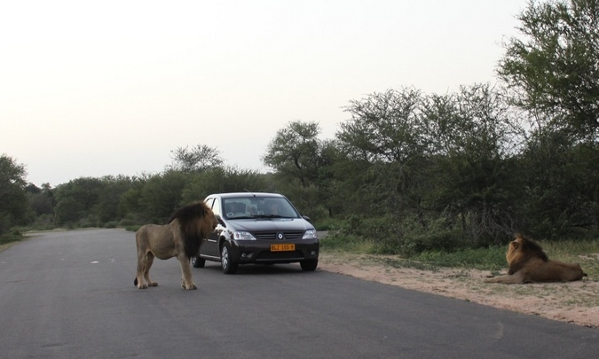 two lions near a car in Kruger National Park