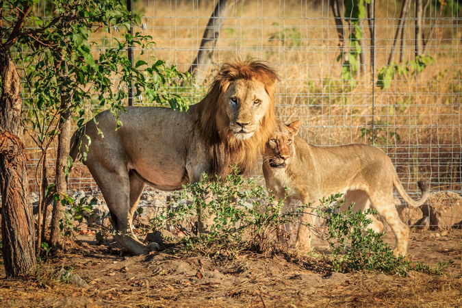 Lions in the boma in Liwonde