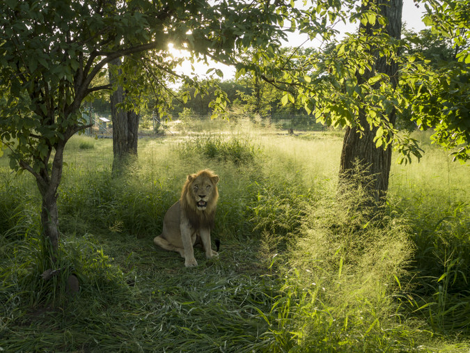 Male lion in boma in Liwonde