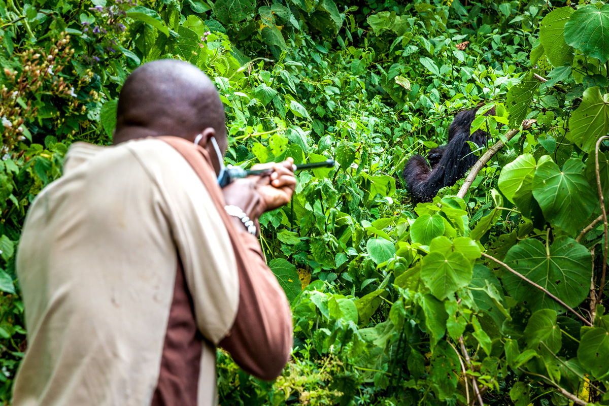 Tranquilising mountain gorilla