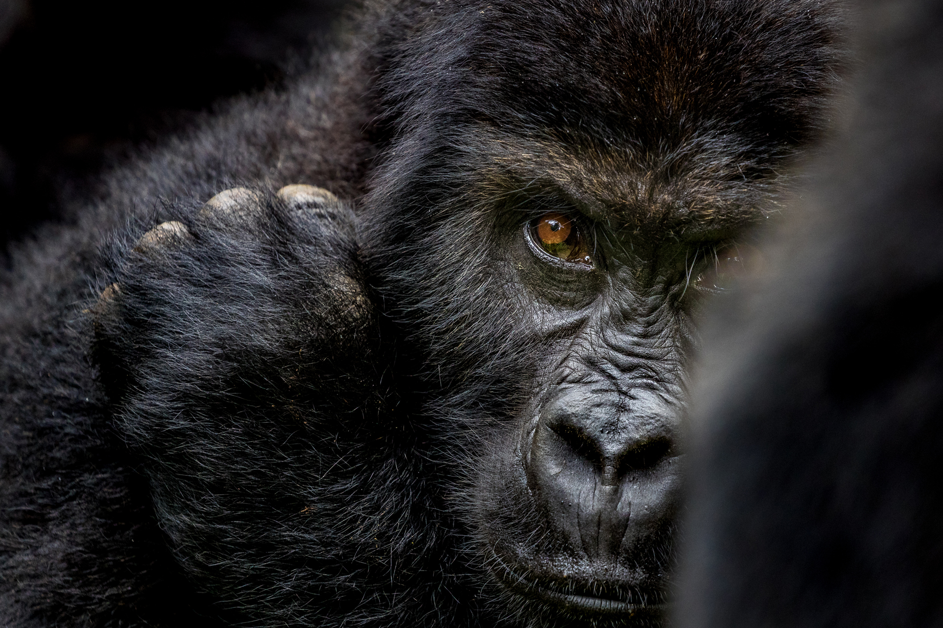 Close up of a Grauer's gorilla