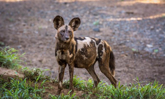 African wild dog female
