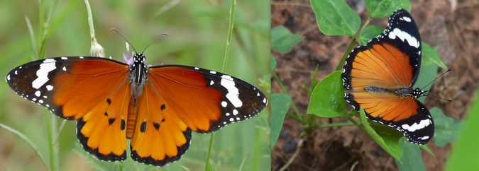 African monarch butterfly © Bernard Dupont (left); Common diadem butterfly © Diverseearthlibrary (right)