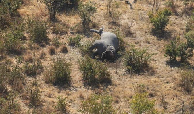 Poached elephant carcass, Botswana