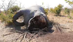 Poached elephant carcass, northern Botswana