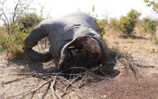Poached elephant carcass, northern Botswana