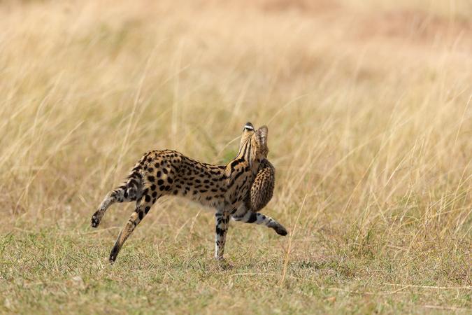 Serval cat and kitten running in the Maasai Mara, Kenya