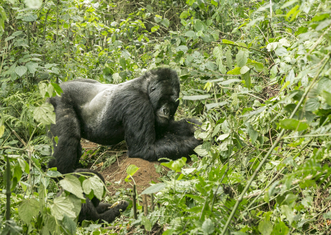 Silverback mountain gorilla in Bwindi Impenetrable National Park, Uganda