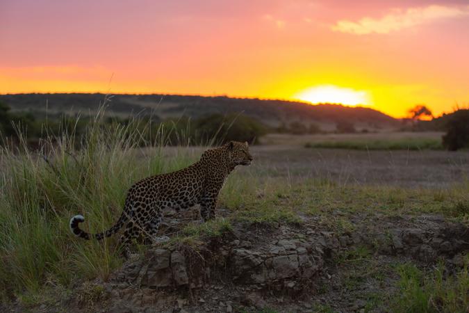 Leopard at sunset in the Maasai Mara, Kenya