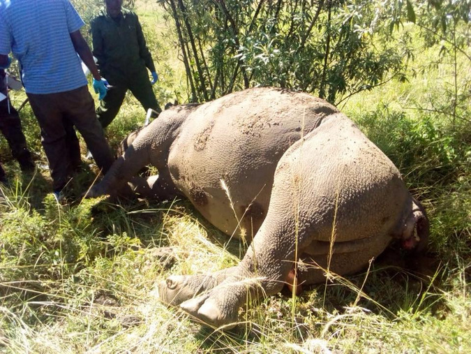 Poached black rhino in Kenya
