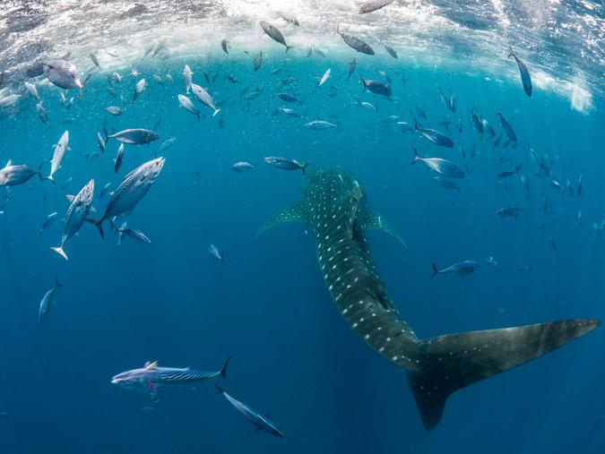 Whale shark at Mafia Island, Tanzania